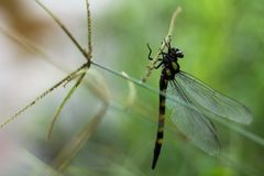 Dragonfly. The dragonfly in Mondulkiri Province, Cambodia royalty free stock image