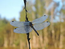 Dragonfly in morning dew Stock Photos