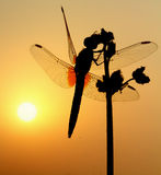 Dragonfly the morning sun Royalty Free Stock Photo