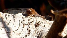 Dragonfly & mrówki na starym stawowym beli Grandview stanu parku, WV zbiory