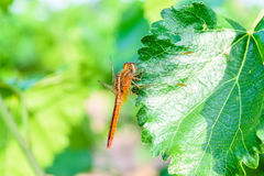 Dragonfly on mulberry leaf. In nature background Royalty Free Stock Photo