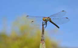 Dragonfly na agawy poradzie Zdjęcia Stock
