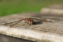 Dragonfly na ławce Fotografia Stock