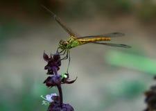 Dragonfly na basilu kwiacie Zdjęcia Stock