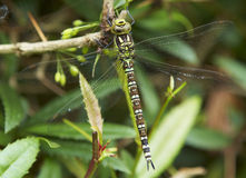 Dragonfly na berberis żywopłocie Obraz Royalty Free