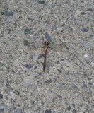 Dragonfly na betonie Zdjęcia Stock