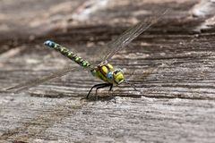 Dragonfly na desce Obrazy Stock