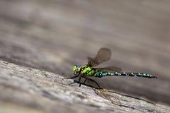 Dragonfly na desce Obrazy Royalty Free