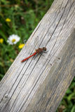 Dragonfly na Drewnianym promieniu 2 Zdjęcia Stock