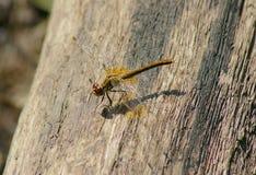 Dragonfly na drzewie Zdjęcie Stock
