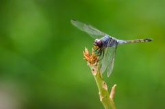 Dragonfly na drzewie Obrazy Stock