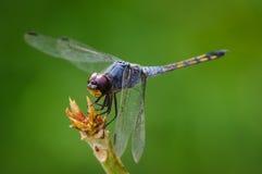 Dragonfly na drzewie Zdjęcie Royalty Free