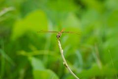 Dragonfly na drzewnym wierzchołku Obraz Royalty Free