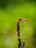 Dragonfly na drzewo wierzchołku Zdjęcia Royalty Free