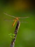 Dragonfly na drzewo wierzchołku Obrazy Stock