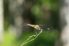 Dragonfly na gałąź Fotografia Stock