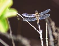 Dragonfly na gałąź Obraz Royalty Free