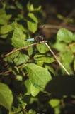 Dragonfly na gałąź Zdjęcie Royalty Free