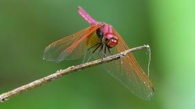 Dragonfly na gałąź zdjęcie wideo