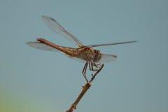 Dragonfly na gałąź z błękitnej zieleni tłem Obraz Royalty Free