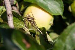 Dragonfly na jabłoni w słonecznym dniu Zdjęcia Stock