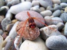 Dragonfly na kamieniach Obrazy Royalty Free