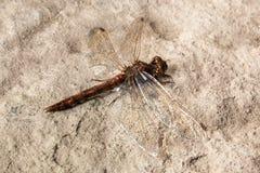 Dragonfly na kamieniu fotografia royalty free