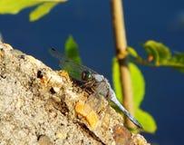 Dragonfly na kamieniu Zdjęcia Stock