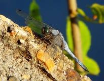 Dragonfly na kamieniu Obrazy Stock