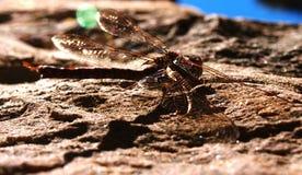 Dragonfly na kamiennej ścianie Fotografia Royalty Free