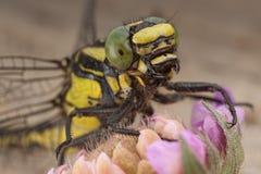 Dragonfly na kwiacie Zdjęcia Royalty Free