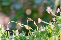 Dragonfly na kwiacie Zdjęcia Stock