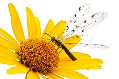 Dragonfly na kwiacie Fotografia Royalty Free