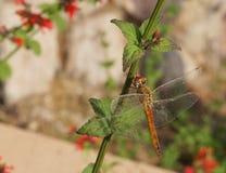 Dragonfly na kwiacie fotografia stock