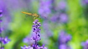 Dragonfly na lawendowym kwiacie zdjęcie wideo