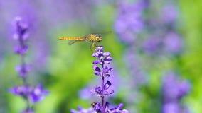 Dragonfly na lawendowym kwiacie zbiory wideo