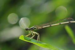 Dragonfly na liściu Zdjęcie Stock