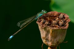 Dragonfly na lotosie fotografia royalty free
