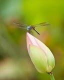 Dragonfly na lotosu pączku Zdjęcia Stock