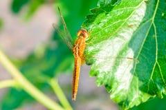 Dragonfly na morwowym liściu Obrazy Stock