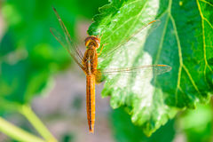 Dragonfly na morwowym liściu Zdjęcia Stock
