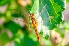 Dragonfly na morwowym liściu Obrazy Royalty Free