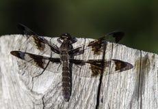 Dragonfly Na Płotowej poczta Obrazy Royalty Free