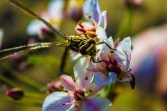 Dragonfly na palcowym dragonfly na kwiacie Fotografia Stock
