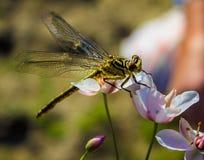 Dragonfly na palcowym dragonfly na kwiacie Zdjęcia Stock