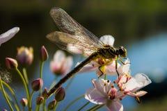 Dragonfly na palcowym dragonfly na kwiacie Obrazy Stock