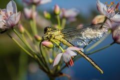 Dragonfly na palcowym dragonfly na kwiacie Obraz Stock