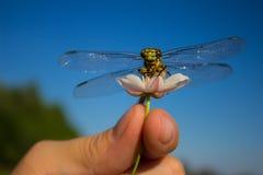 Dragonfly na palcowym dragonfly na kwiacie Fotografia Royalty Free