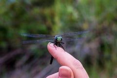 Dragonfly na palcu Zdjęcia Stock