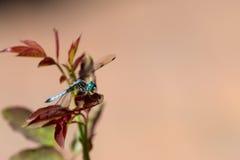 Dragonfly na róży roślinie, zima park, Orlando, Floryda zdjęcia royalty free